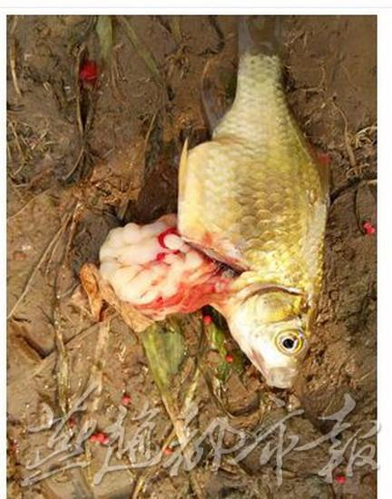 太平河现大肚鲫鱼 剖开全是白色虫子吓坏钓鱼人