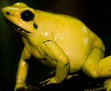 金毒鏢蛙:這是一種顔色亮麗、卻可以致命的兩棲動物。這種蛙皮膚中的毒液量足以殺死100個人。