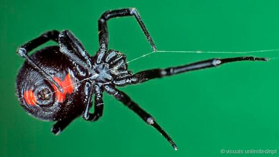 雄性黑寡妇蜘蛛能通过嗅觉,辨识出与雌性蜘蛛交配的最佳时机。