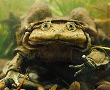 """的的喀喀湖水蛙:這種兩棲動物只發現於南美的的的喀喀湖中。在進化過程中,它們的肺活量不斷下降,因此它們的皮膚皺摺也能夠幫助呼吸。研究發現,的的喀喀湖水蛙會在湖底做""""俯卧撐""""以增大流經皮膚的水流,從而獲得更多的氧氣。"""