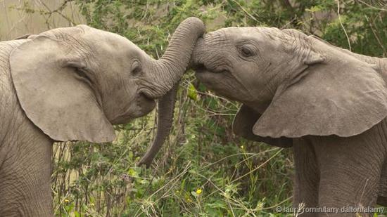 大象使用鼻子示爱。