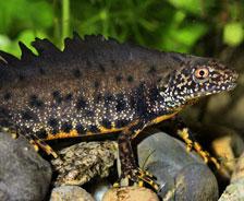 大冠蠑螈:在歐洲,大冠蠑螈數量急劇下降。在繁育季節,它們的冠部會增大;此外它們還會改變自己的身體形狀。所有這一切都是為了給潛在的交配對象一個好印象。
