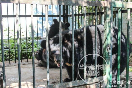 两只被误买的黑熊。