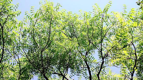 印度楝树能产生价值很高的抗真菌化学物质