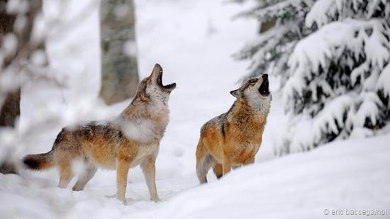 诸如狼等顶级掠食者会使生态系统具有更高的多样性