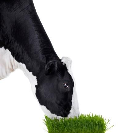 有机牛奶更健康?