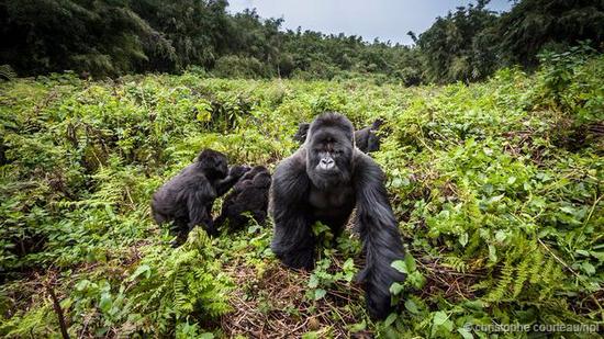 山地大猩猩几乎就在灭绝的边缘