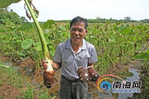 身后几十亩的芋头到了出售时间,不见买家村干部符日山很着急。南国都市报记者汪承贤摄