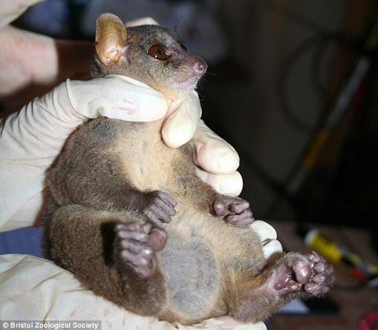 动物学家发现北方巨鼠狐猴拥有惊人巨型睾丸