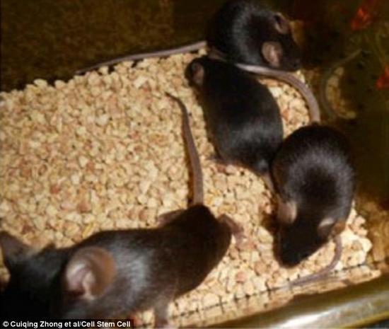 研究者利用人造精子成功培养出了半克隆小鼠。这些幼鼠都是雌性小鼠自然生产出来的。上图显示的是已经成年的半克隆小鼠