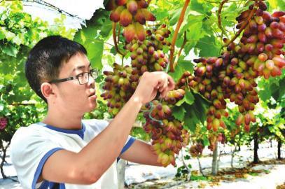 大学生张籍友在自己的葡萄园工作。