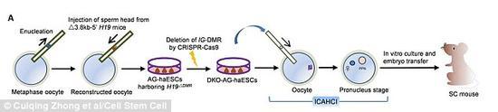 """科学家称,他们的技术(上图为流程示意图)可以用来制造一支半克隆小鼠""""大军"""",用于对抗疾病的研究。该技术从左至右涉及到了卵细胞移除细胞核、注入精子头部并培养成干细胞的过程,然后将其中一个干细胞注入健康的卵细胞中"""