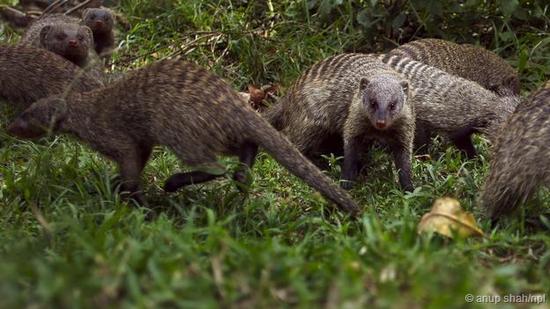 缟獴以大家族的形式生活在广袤的非洲大草原上。这是一种小型哺乳动物,主要以昆虫,蜘蛛为食物,但偶尔也会捕食蛇类
