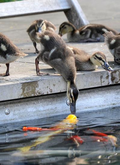 """萌小鸭低头饮水与鲤鱼意外""""接吻"""""""