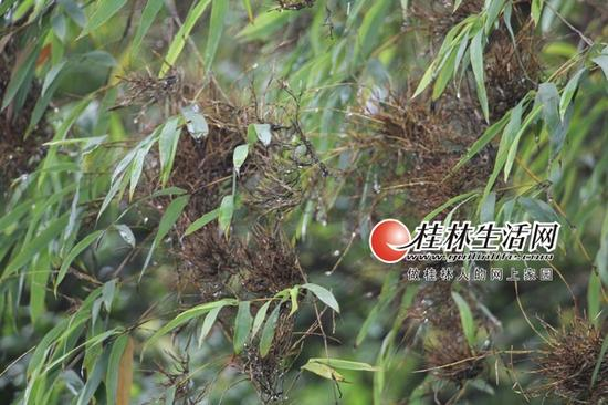 被竹蝗吃掉竹叶的竹枝,光秃秃的。记者景碧锋 实习生张征 摄