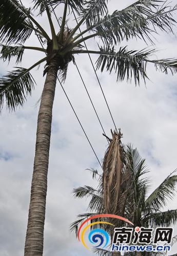 在海口部分道路,电线与绿化树争空间,绿化树很受伤。