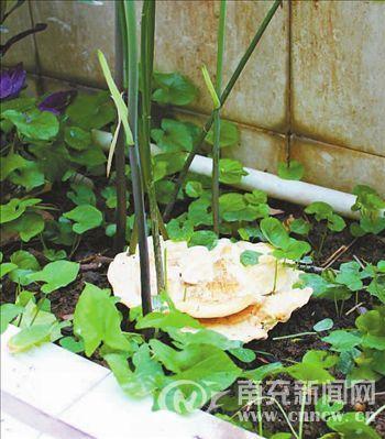 """傅先生家中花台里长出的乳白色""""花朵"""""""