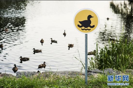 几只野鸭出现在迷你路牌旁。 (Clinic212供图 格莱塔7月22日摄)