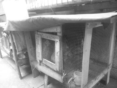 住户搭建鸡笼养鸡