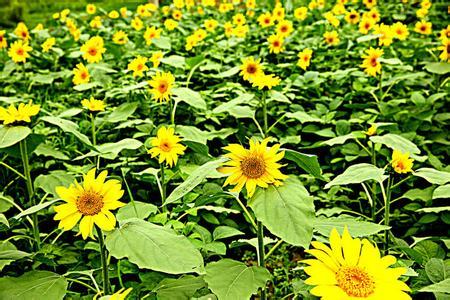 花茂向日葵