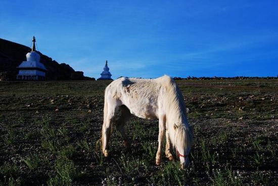 西藏高原马