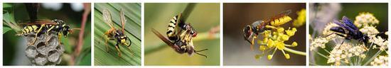 你被哪一种蚂蜂蛰过?从左到右辨别是造纸胡蜂(Polistes dominula)、德国黄胡蜂(Vespula germanica)、沙蜂(Bembix oculata)、欧洲狼蜂(Philanthus triangulum)和宾夕法尼亚掘土蜂(Sphex pensylvanicus)。