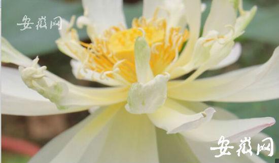 """""""沉睡""""600年的古莲子在合肥植物园开花"""