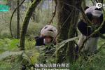 国家地理纪录片:大熊猫的回归自然之路