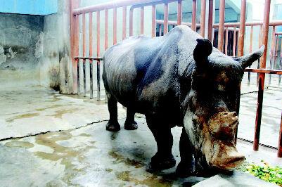 """动物园的总兽医师王建民为此十分着急,王大夫照顾了""""大芳""""33年,对"""