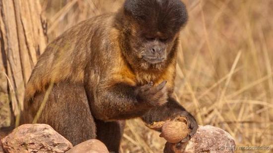 一只黑卷尾猴正在吃已经敲好的坚果