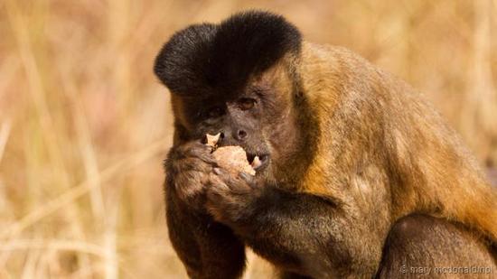 一只黑卷尾猴正在享用拿石头敲开的坚果