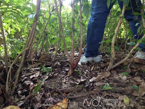 绿化带内多株灌木根部有明显血迹。南都记者 祝勇 摄