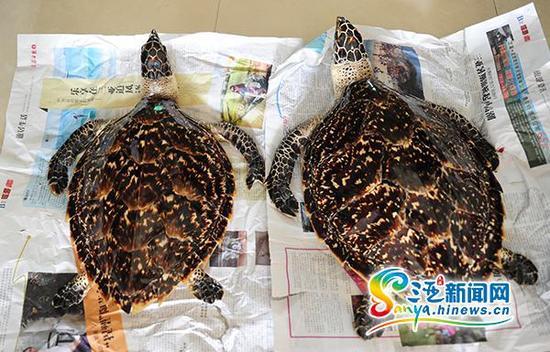 报料人花3万元从三亚海螺姑娘创意文化园区购买的2只玳瑁标本。(三亚新闻网记者沙晓峰摄)