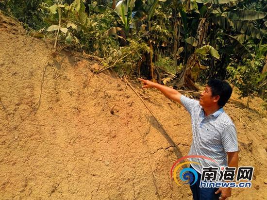 李刚在指示在施工过程中黄花梨树苗遭到损坏(南海网记者刘培远摄)