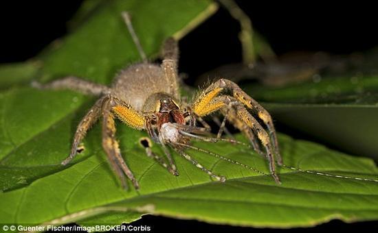 一旦被巴西漫游蜘蛛咬中,就会出现诸如全身颤抖、大量分泌唾液,以及呼吸困难等症状。在许多案例中,这些蜘蛛的毒液也会引起另一些意料之外的症状:长时间疼痛难忍的勃起,勃起时间一次长达数小时。