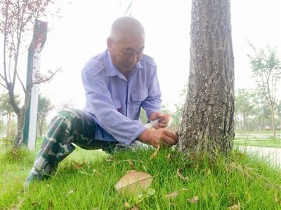 在给柳树打完药水后,园林工人用泥土封住虫洞,对其进行熏蒸除虫害