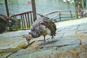 小孔雀自行觅食