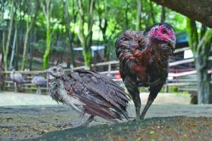 小孔雀与鸡妈妈