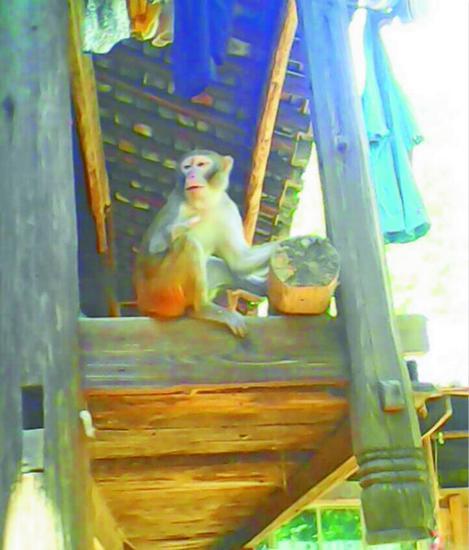 猕猴借住在吴家的木楼里