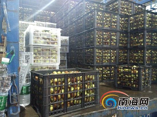 """海南最大水果批发市场每天大量""""糖精枣""""流向市场(南海网记者姜飞摄)"""