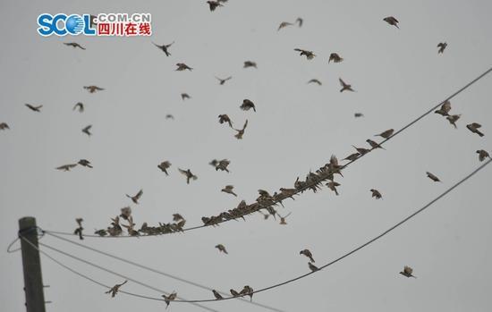 上千只麻雀横扫广汉良田急坏村民