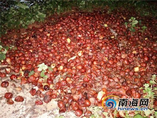 加工点附近发现倾倒有大量腐烂变质疑似糖精枣。南海网记者姜飞摄