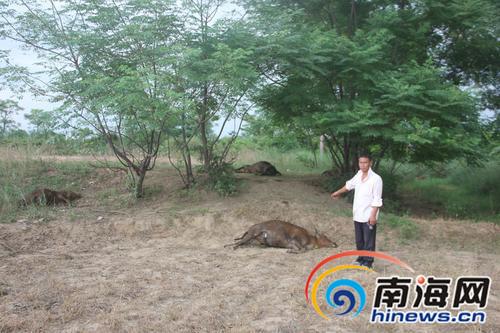 树林里到处是牛的尸体。