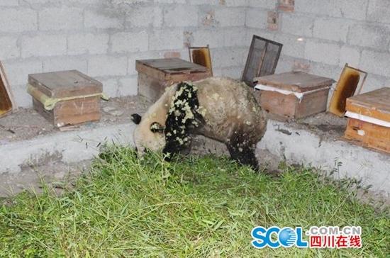 """可爱的""""吃货""""大熊猫引来村民围观"""