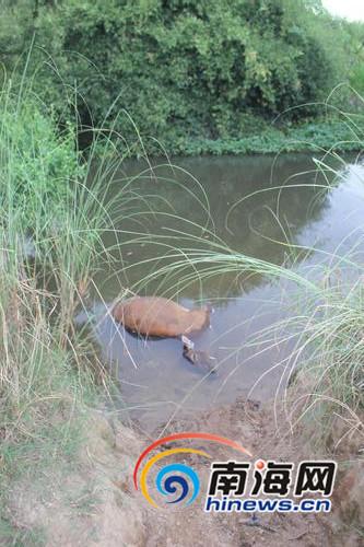 水里也有死牛。