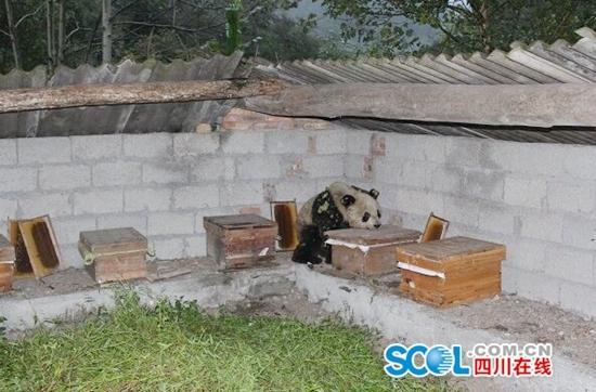 """""""吃货""""大熊猫在蜂箱旁休息(图片均由宝兴县永富乡政府提供)"""