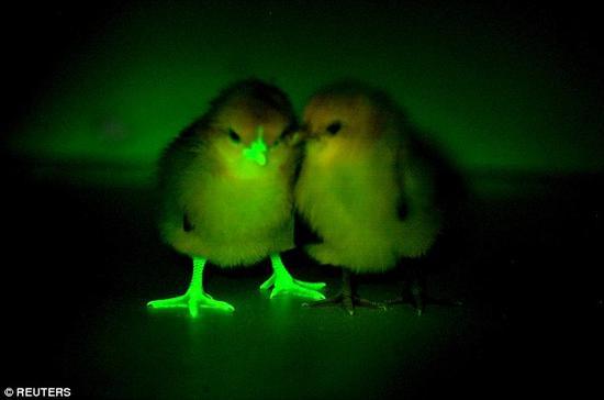 """爱丁堡大学的科学家将绿色荧光蛋白注射到小鸡体内,使它们在实验中更容易与其他鸟类区分开来。每只小鸡都进行了基因改造,通过一个""""decoy""""基因,科学家可以观察它们对禽流感的易感程度。"""