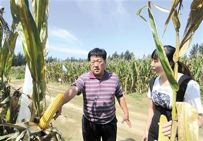 苏宝健在试验田中查看玉米生长情况 本报记者 刘向 摄