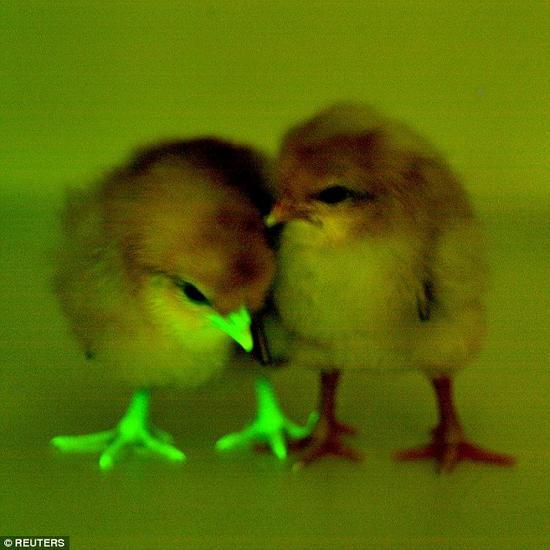 """为了对这些小鸡进行基因改造,研究者将""""decoy""""基因注射到新生鸡蛋内的一团细胞中。从这些鸡蛋孵化出来的小鸡便携带着decoy基因,并能够将该基因传递给后代。与decoy基因一同被注射进细胞内的还有荧光蛋白,使小鸡在紫外光下能发出荧光。"""