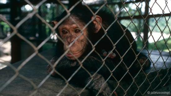 被囚禁的黑猩猩多有抑郁的症状。